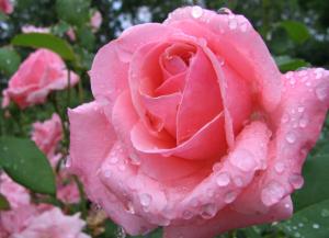 Роза Ступени
