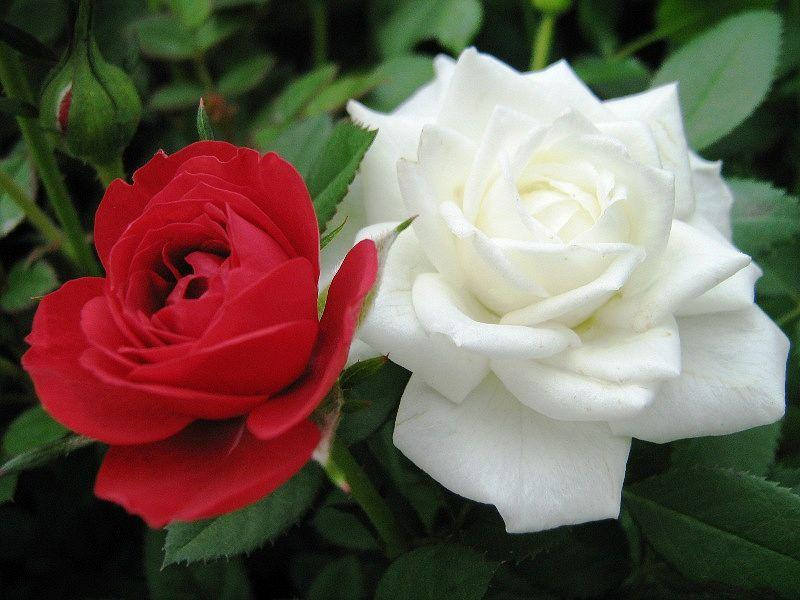 1. Красная и Белая розы