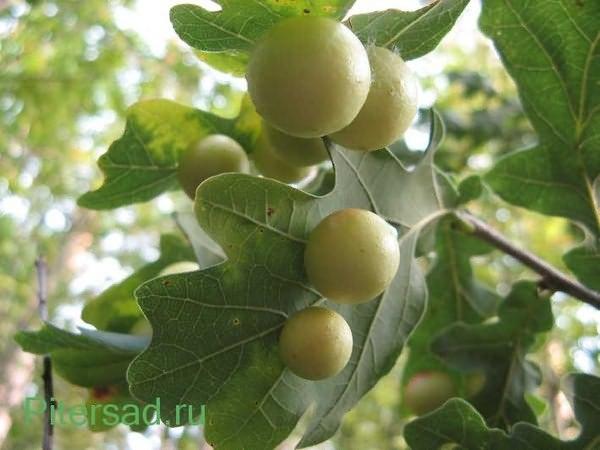 Галлы на листьях дуба