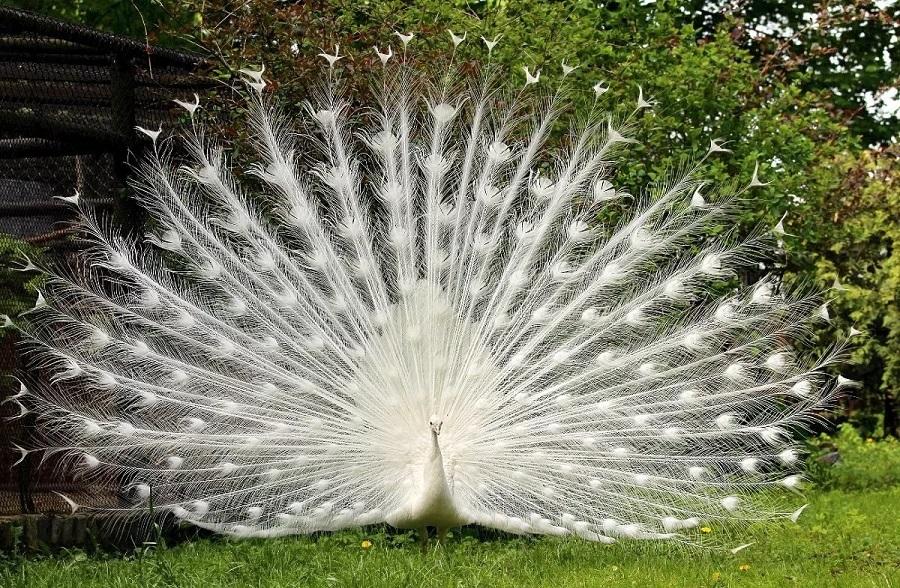 белый белый павлин